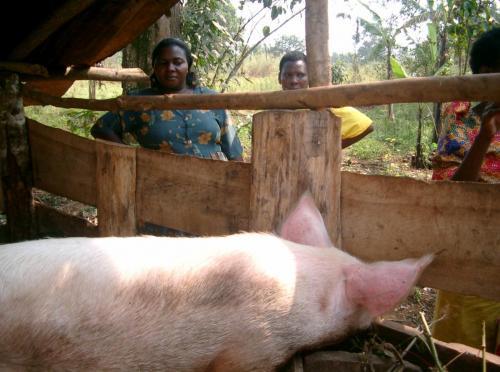 pigfarming